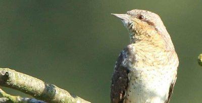 Krętogłów - ptak o długim języku