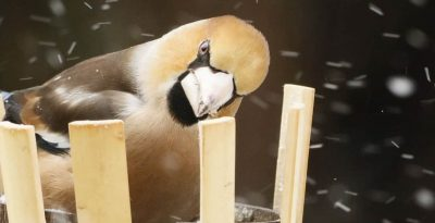 Grubodziób - papuga północy